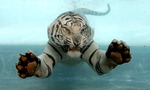 White tiger swimming tiny landscape