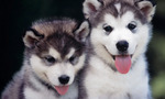 Siberian husky puppies tiny landscape