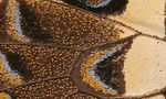 797px butterfly wing close up  landscape