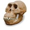Australopithecus%20afarensis%20skull%200265