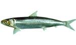 Tablademareas com sardina  landscape