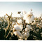 Cotton_plant1_small_square