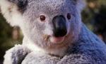 Koala baby pic  landscape