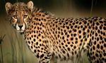 Cheetah%20pic  landscape
