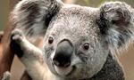 Koala  landscape