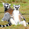 Ringtailed_lemurs_small_square