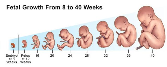 Developers Developers Developers Fetal Development Timeline
