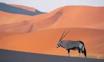 Oryx antelope  landscape