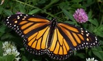 Monarch in may 1   landscape