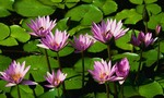 Water lilies  landscape
