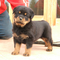 Rottweiler_puppies_for_adoption_small_square