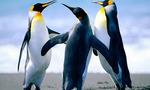 Penguins  landscape